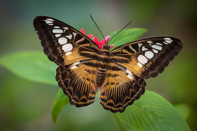 Butterfly, Insect, Nature, Wing, Lepidoptera