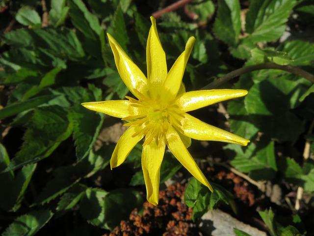 Ficaria Verna, Lesser Celandine, Ranunculus Ficaria