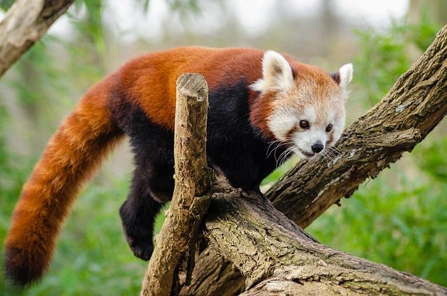 Animal, Cute, Fur, Lesser Panda, Mammal, Nature