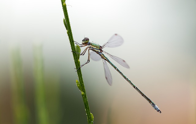 Lestes Virens, Small Emerald Damselfly, Males