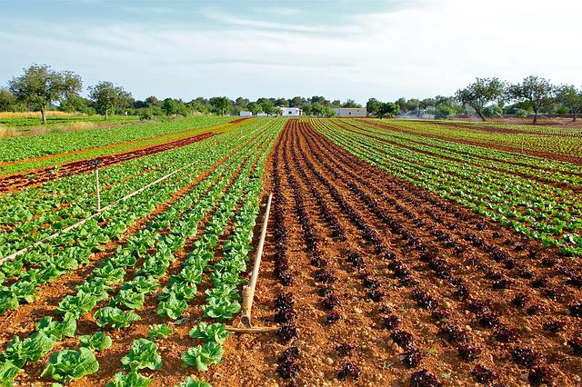 Lettuce Field, Cultivation, Vegetable