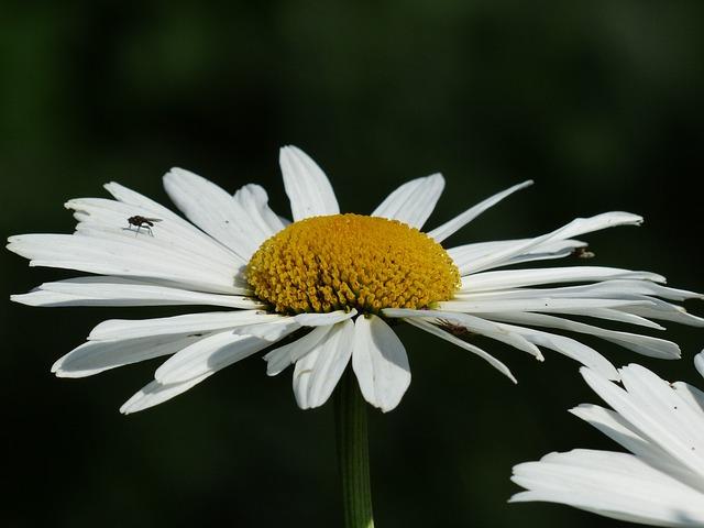 Flowers, White, Meadows Margerite, Leucanthemum Vulgare