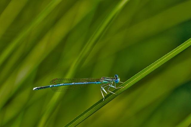 White Legged Damselfly Darter, Levéllábú Dragonfly