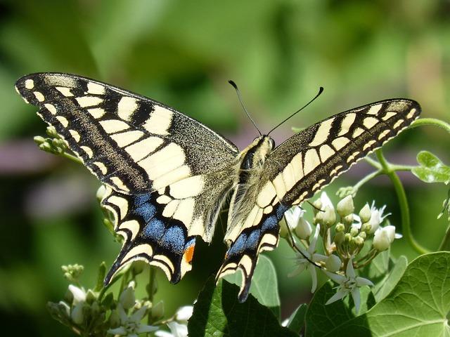 Butterfly, Libar, Machaon, Beauty, Papilio Machaon