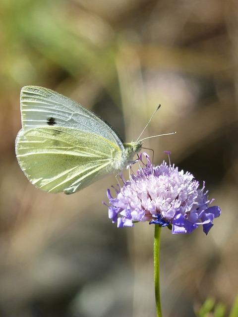 Blanquita Of Cabbage, Butterfly, Wild Flower, Libar
