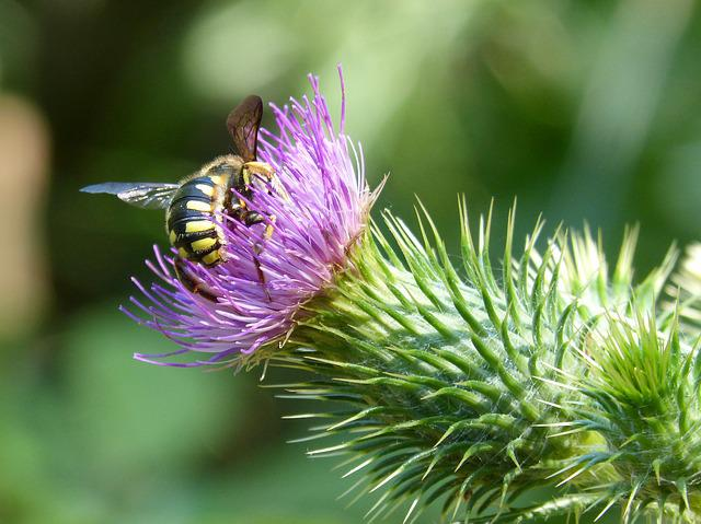 Hornet, Thistle Flower, Beauty, Libar, Nature