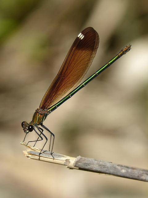 Libella, Black Dragonfly, Calopteryx Haemorrhoidalis