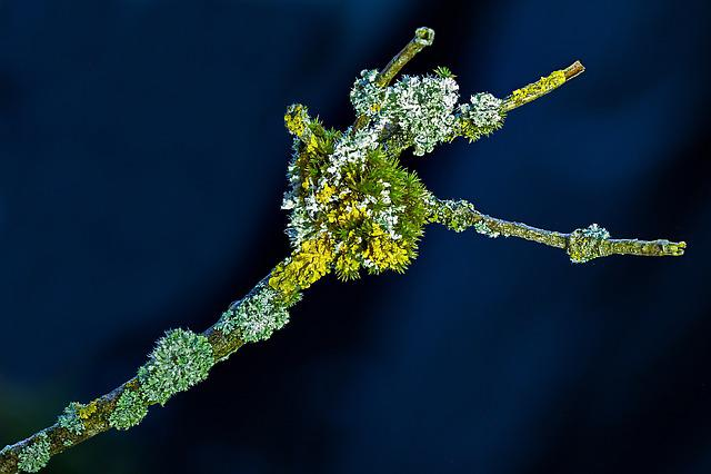 Lichen, Yellow Lichen, Fouling, Branch, Lichen Growth