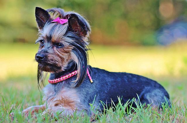 Beauty, Yorkie, Dog, Lie