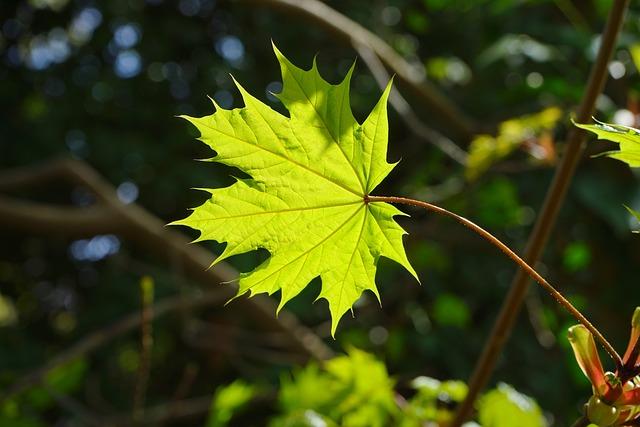 Leaf, Maple, Green, Back Light, Light, Light Green