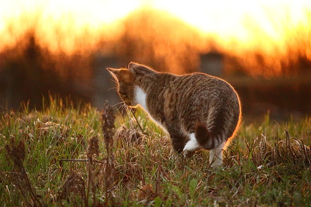 Cat, Kitten, Mieze, Sunset, Sun, Grass, Light, Mackerel