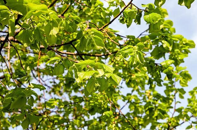 Linde, Lipovina, Light Green, Light, Aesthetic
