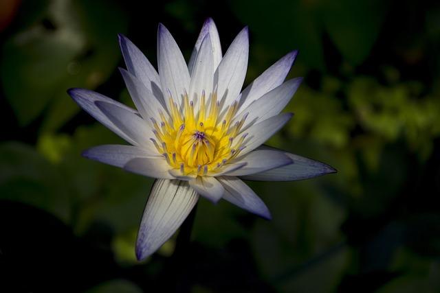 Flower, Lotus, Light, Pond, Water Plant, Dark