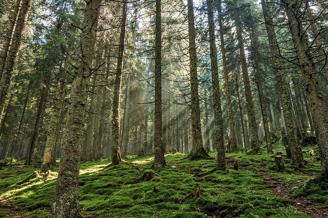 Forest, Pine Forest, Pine, Nature, Light, Wood
