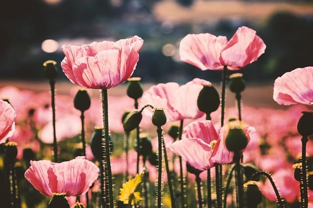 Poppy, Pink, Bright, Light, Lighting, Blossom, Bloom