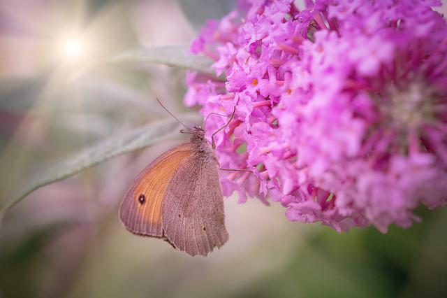 Butterfly, Meadow Brown, Edelfalter, Lilac