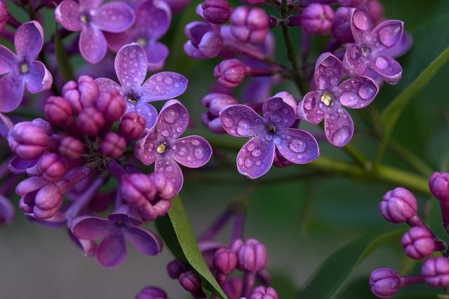 Lilac, Flower, Mov, Spring, Plant, Rain, Wet