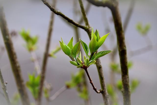 Leaves, Green, Lilac Tree Buds, Lilac, Lilac Tree