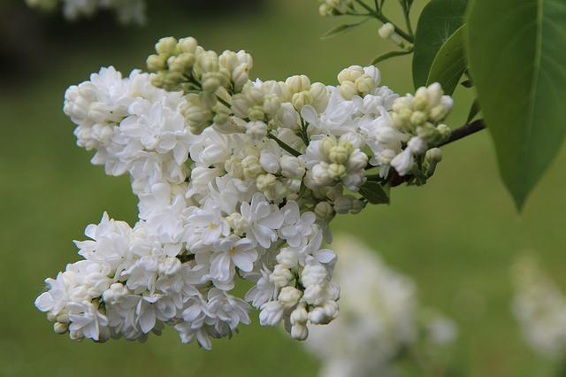 Lilac, White Lilac, Flowers Of Lilac, Lilac Button