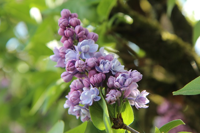 Lilac, Common Lilac, Lilac Purple, Flowering
