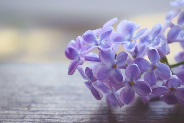 Lilac, Macrophoto, Macro, Flowers, Nature, Closeup