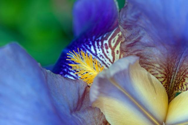Pestle, Iris, Flower, Lilac, Macro, Blue Petans