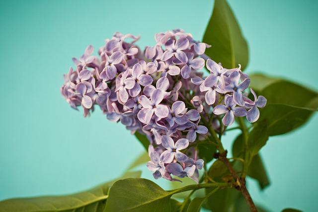 Lilac, Syringa, Bush, Purple, Violet, Bloom, Olive Crop