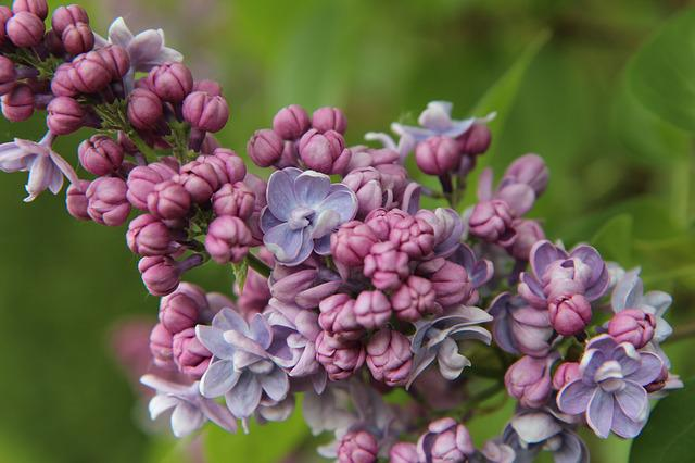 Lilac, Lilac Pink, Flowers Of Lilac, Spring-flowering