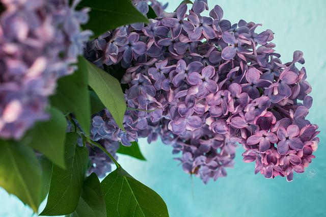 Lilac, Syringa, Bush, Purple, Violet, Bloom, Olive Crop