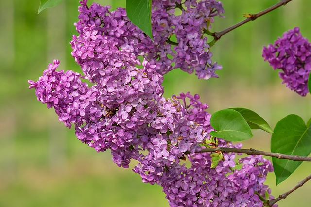 Lilac, Lilac Flower, Bloom, Violet, Spring, Lilac Tree