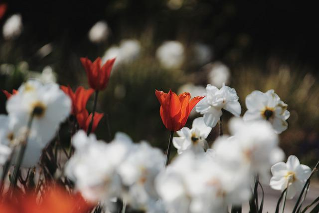 Flowers, Tulip, Daffodils, Lilies, Spring, Bokeh