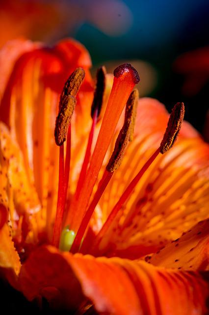 Fire-lily, Lilium Bulbiferum, Stamen, Anther, Stylus