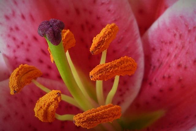 Lily, Stamen, Flower, Petal, Blossom, Flora, Macro