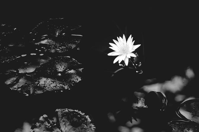 Water Lily, Lily, Water, Nature, Flower, White