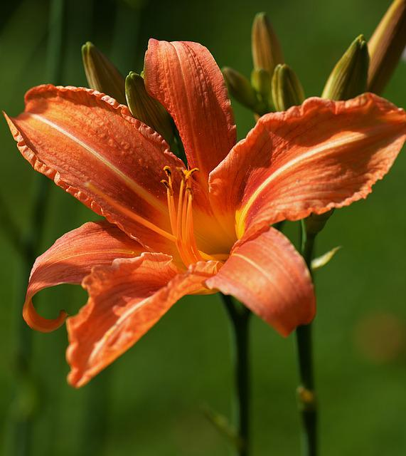 Lily, Orange, Macro, Blossom, Bloom, Garden