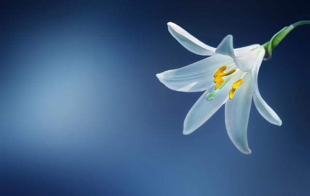 Flower, Lily, Lilium Candidum, Madonna Lily, Lilium