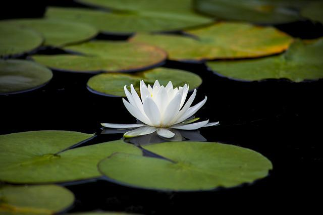 Lotus, Lily, Aquatic, Flowers, Leaf, Plants