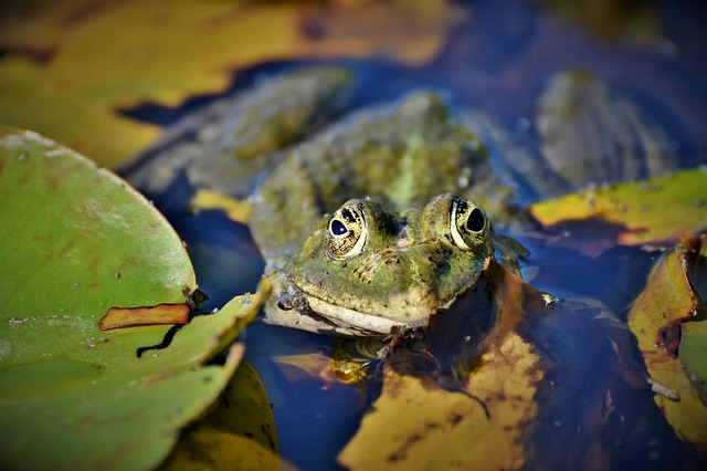 Frog, Toad, Amphibians, Animal, Creature, Lily Pad
