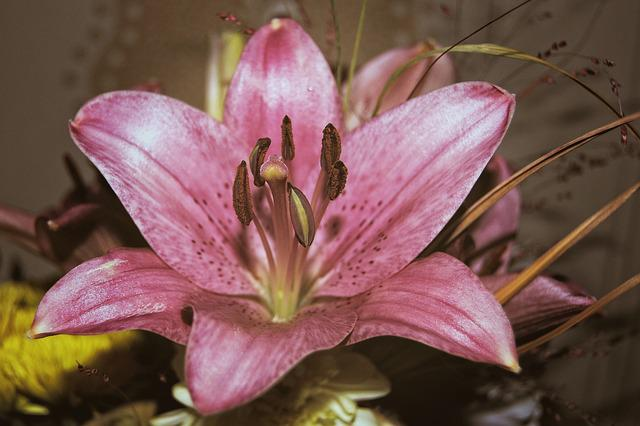 Lily, Blossom, Bloom, Flower, Pink