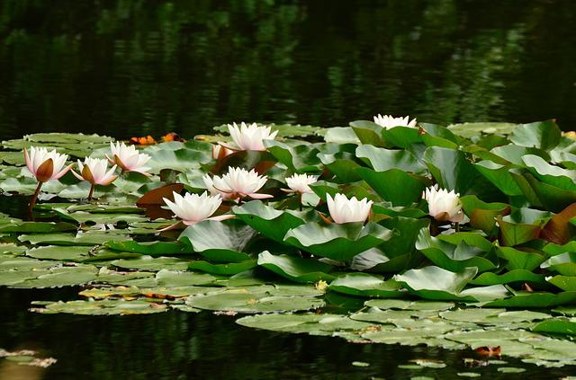 Water Lilies, Lily Pond, Pond, Water, Lake Rose