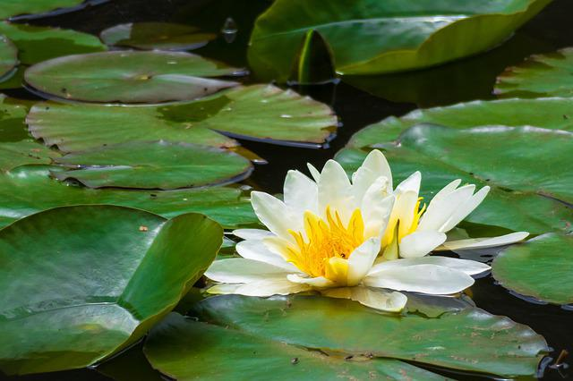 Water Lily, Blossom, Bloom, Pond, Bloom, Lily Pond