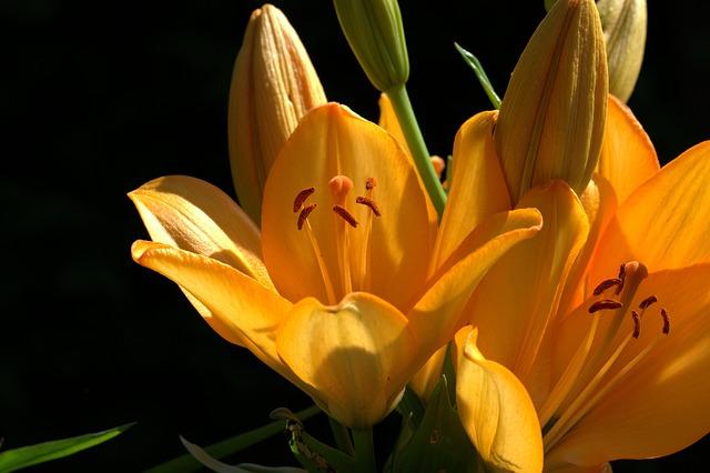 Lily, Zwiebelpflanze, Ornamental Plant, Flower, Plant
