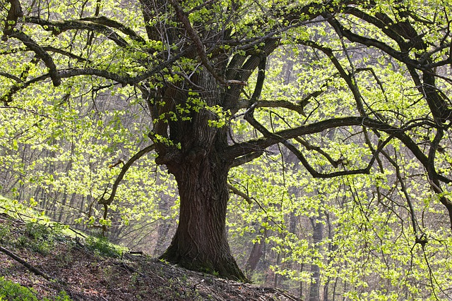 Grove, Linde, Oak, Forest, Trees, Spring, Nature