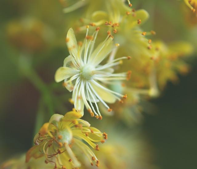 Linden Flower, Blossom, Bloom, Bloom, Stamp, Pollen