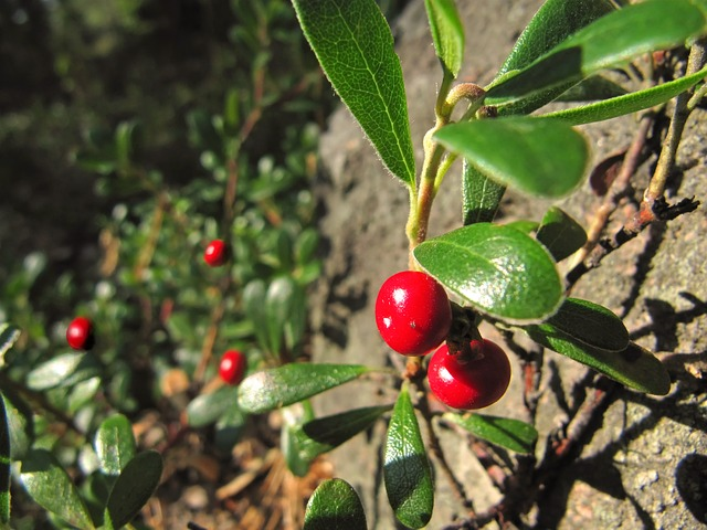 Lingonberry, Cowberry, Red Whortleberry
