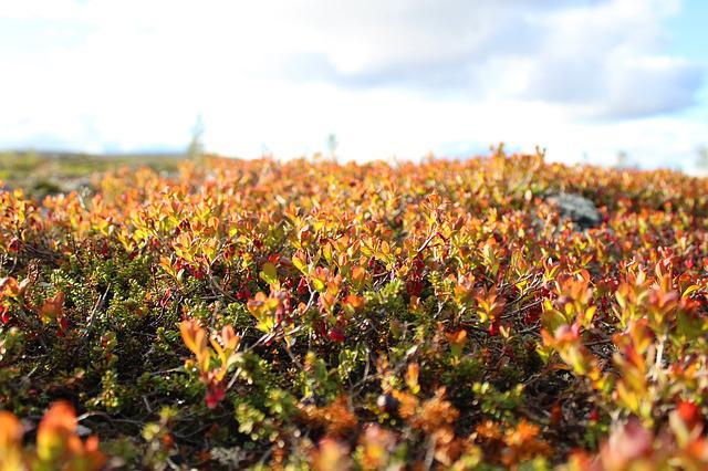 Autumn, Fall, Lingonberry, Plants