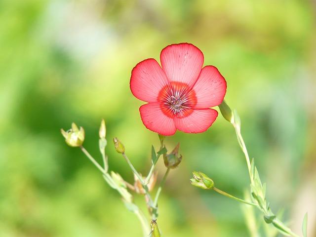Linum Grandiflorum, Red Lein, Blossom, Bloom, Flower