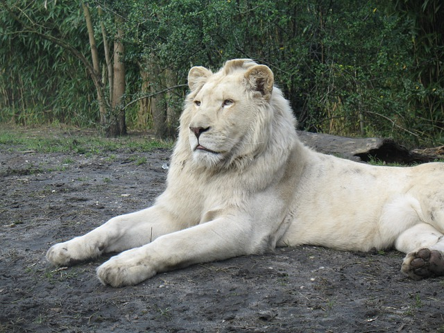 Zoo, Lion, Albino, Animal, Wildlife, Wild, Zoology