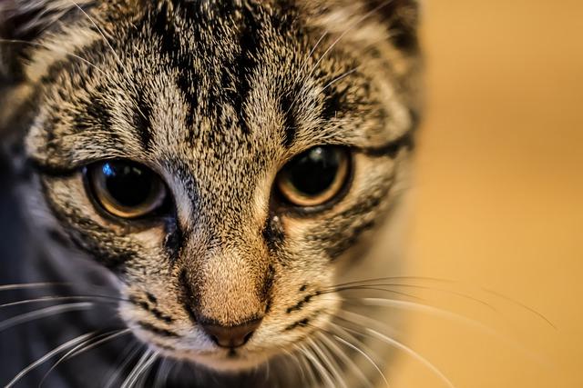 Cat, Animal, Tiger, Kitten, Pet, Lion, Fur, Cute