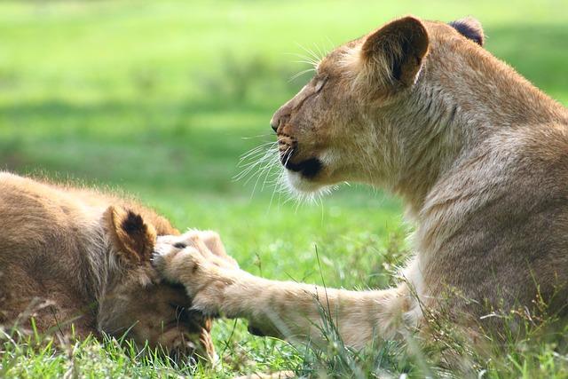 Lion, Zoo, Animal